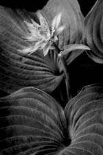 Russ Martin - Hosta Flower Amid Leaves Click for more Images