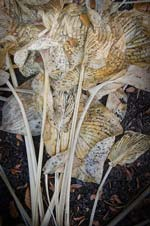 Russ Martin - Wilted Hosta Leaf Collage Click for more Images