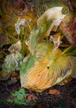 Russ Martin - Wilted Hosta Group Click for more Images